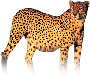 Cheetah photo with transparency